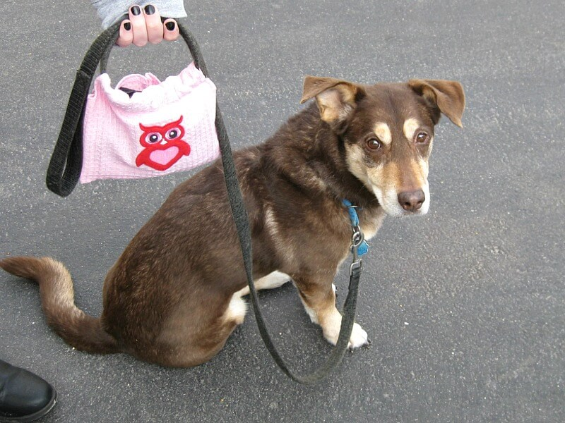 dog on leash looking at camera and pink dog poop bag holder on leash