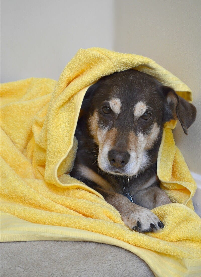 Pamper Your Senior Dog with a DIY Hooded Towel - #BeyondSnacks [ad]