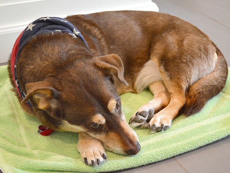 brown and tan dog sleeping on green mat