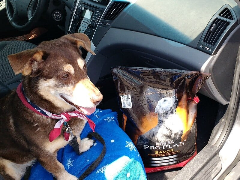 brown and tan dog looking excited sitting on car seat with bag of dog food