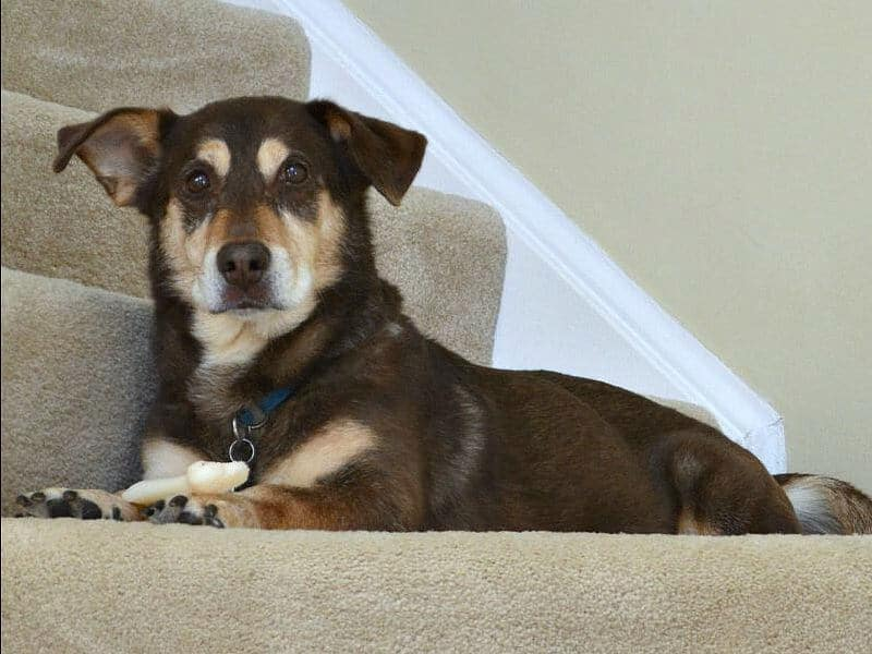 brown and tan dog laying on step looking alert at camera
