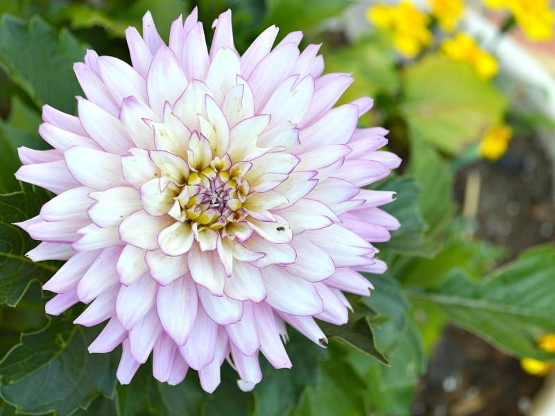 close up of light purple flower with yellow flowers in background