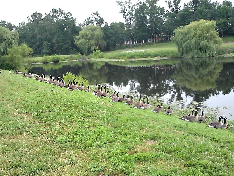 geese on bank of pond
