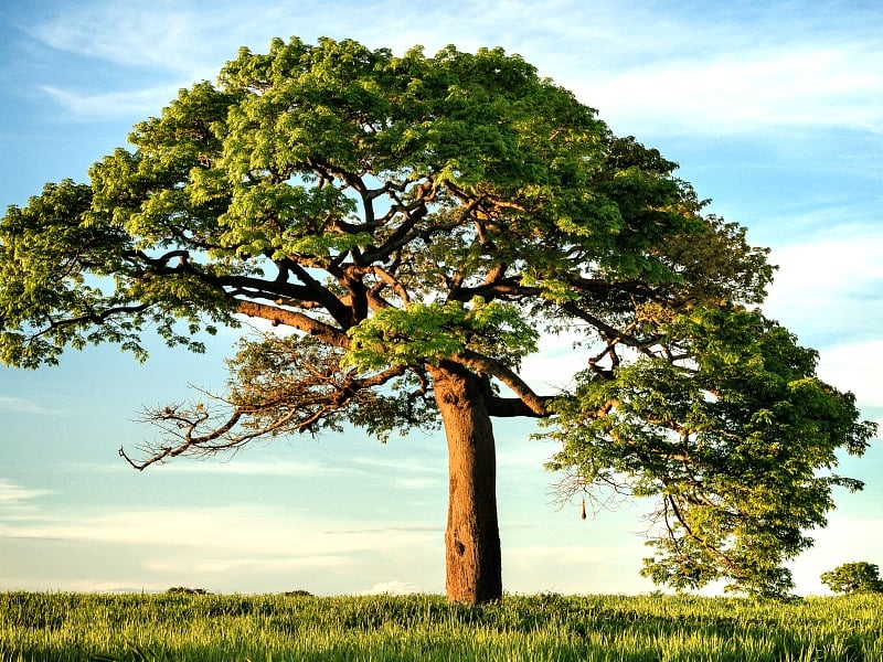 large tree in green field with bright blue sky