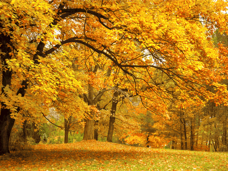 Forest of autumn trees with yellow leaves