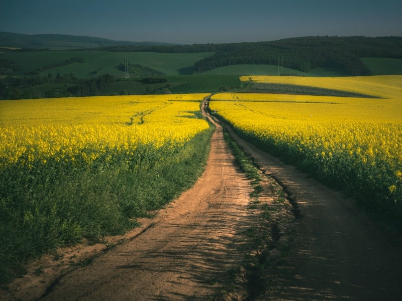 Dirt path through field of yellow flowers going towards hills