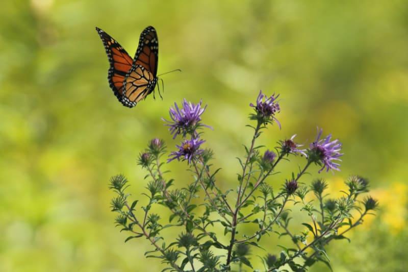 butterfly near flowers